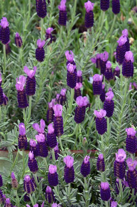 spanish lavender longwood gardens