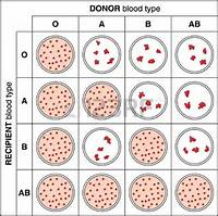 Results Of A Typical Blood Cross Match Test Showing Agglutination