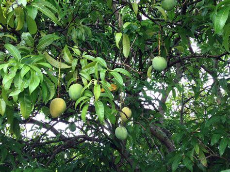 how to identify fruit trees forum identify mango tree help