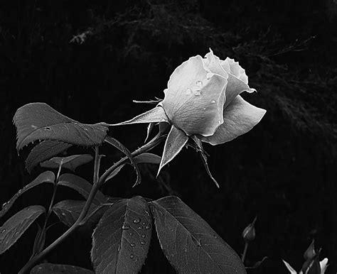imagenes en negro y rosa blanco y negro rosa imagen foto plantas flores