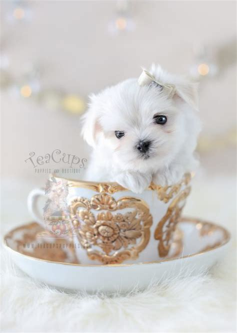 tea cup puppies for sale teacup and maltese puppies teacups puppies boutique