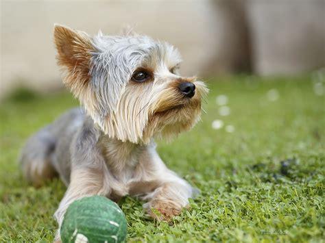 liver shunt in dogs liver shunt in dogs