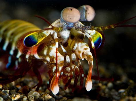 mantis shrimp colors no other animal in the world sees color like the mantis