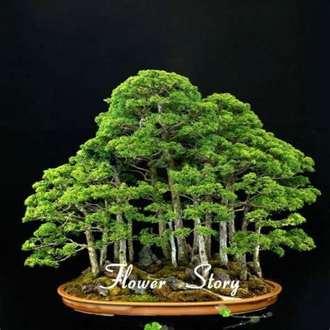 Daftar Bibit Bonsai 20 juniper bonsai bibit pohon bunga pot bonsai kantor memurnikan udara menyerap gas berbahaya