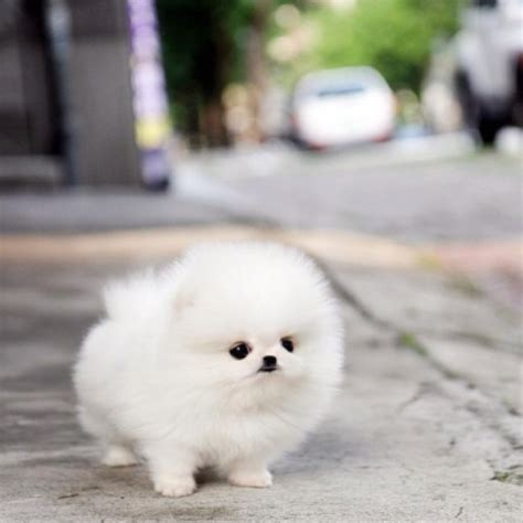 how big are teacup pomeranians baby teacup pomeranian future pets