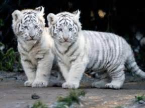 Baby white tigers wallpapers 2013 wallpapers