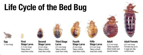 bed bugs houston houston bed bugs control houston pest control bug n out