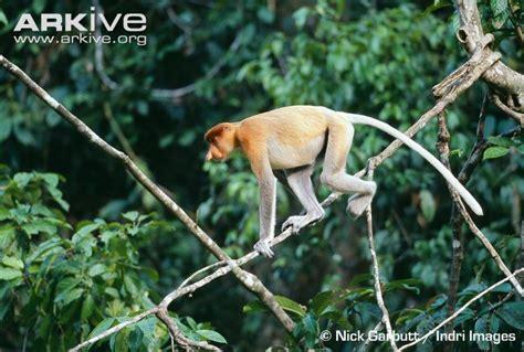 swing monkey proboscis monkey photo nasalis larvatus g10393 arkive