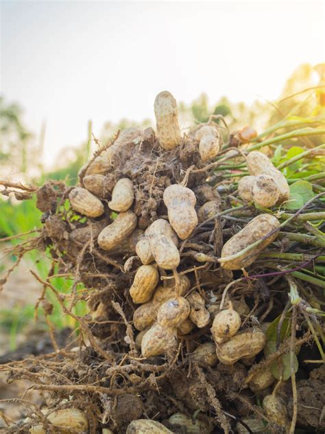 runner peanuts learn  runner peanut varieties