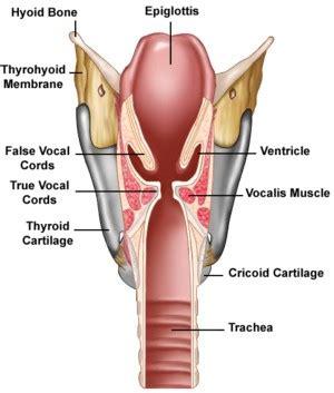 larynx diagram heimlich maneuver antara dua