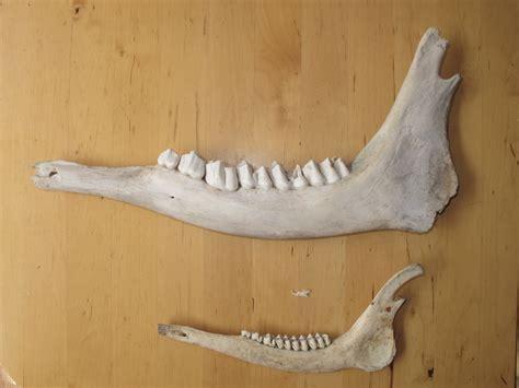 teeth  herbivores carnivores   ingridscienceca