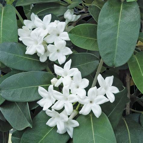 madagascar jasmine stephanotis floribunda pot logees