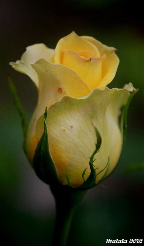 yellow rose bud tattoo 25 best buds ideas on