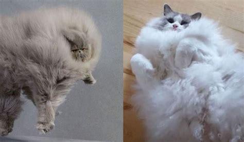 big fluffy big fluffy cats