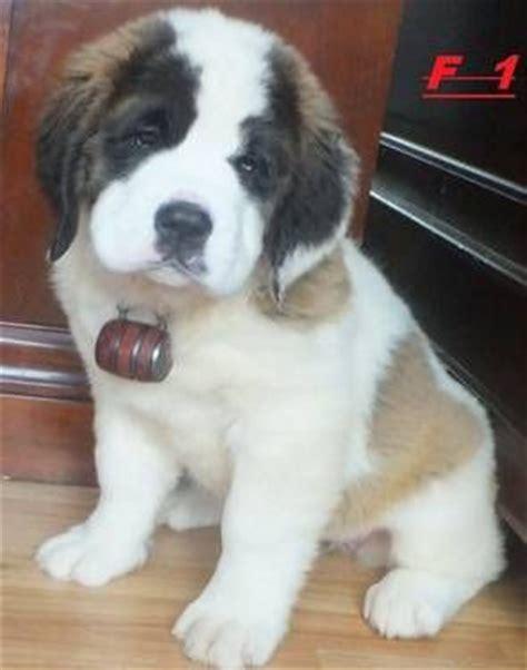 akc bernard puppies for sale 25 best ideas about bernard puppies on st bernard puppy st bernard