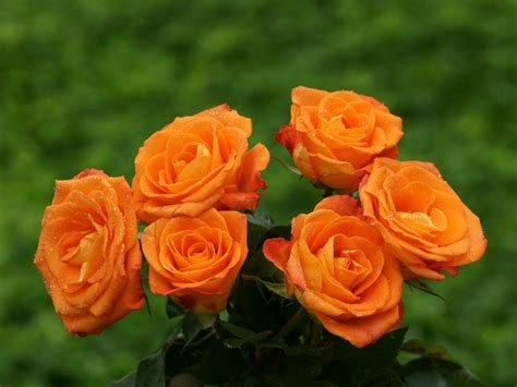 beautiful orange orange rose wallpapers hd pictures flowers wallpapers