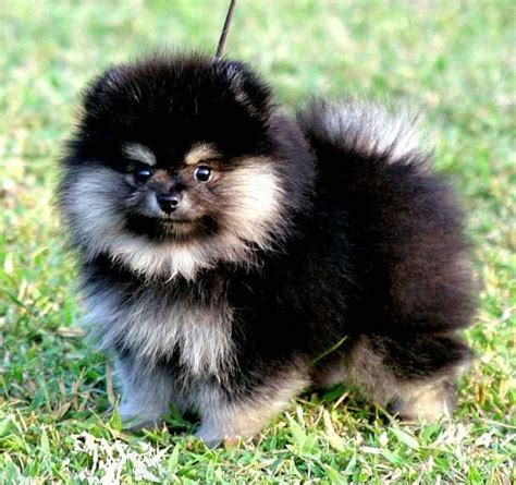 pomeranian puppies black and brown 1000 images about pomeranians on teacup pomeranian black