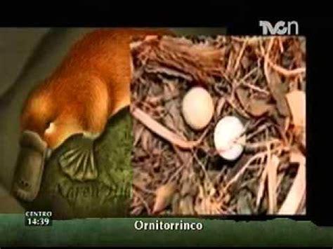 imagenes de ornitorrinco reales instinto animal el ornitorrinco youtube