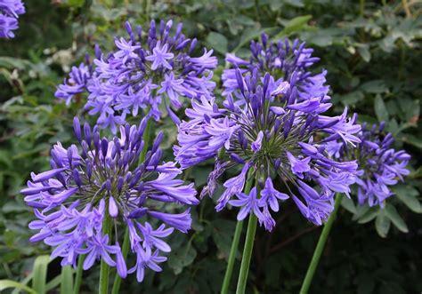 fiore agapanthus agapanthus blue triumphator vivai priola