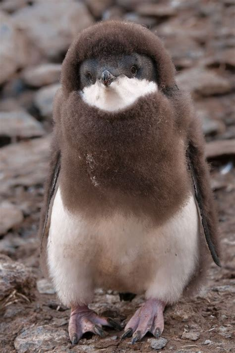 www cute 19 of the cutest baby penguin pictures you ll see