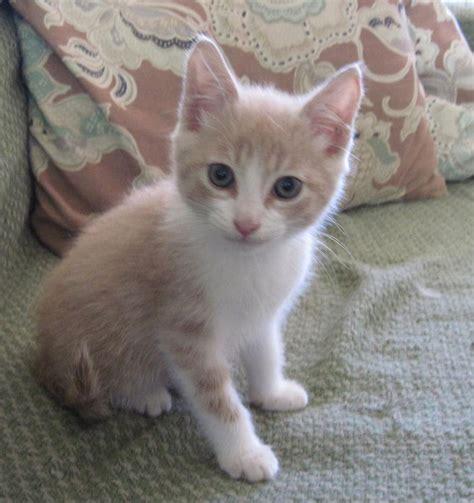 petsmart adoption the gallery for gt petsmart kittens