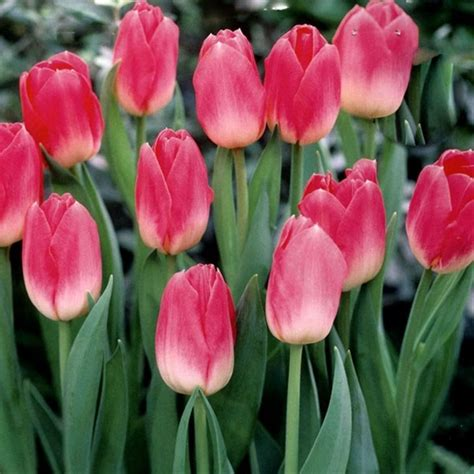 dynasty tulips flowers and fillers flowers by