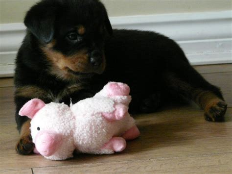 kc registered rottweiler puppies for sale stunning kc registered rottweiler puppies bishop auckland county durham pets4homes