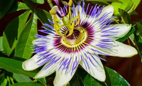 piante da giardino con fiori profumati pianta ricante con fiori bianchi profumati duylinh for