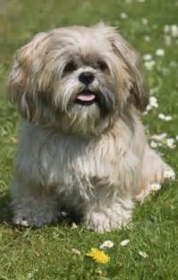 shih tzu constipation cruel smothered pet shih tzu rather than taking it to the vet because it