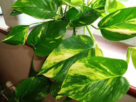 come curare piante da appartamento come curare i pothos piante appartamento cura e