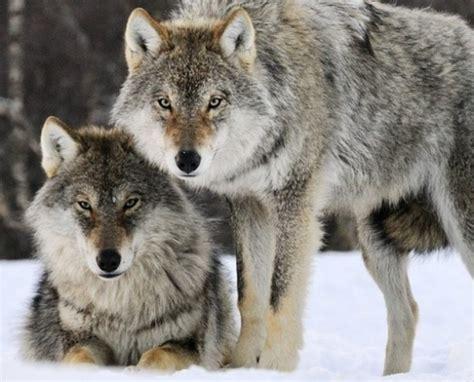 provincia di pavia caccia caccia riaperta ai lupi bufera sul ministro cronaca