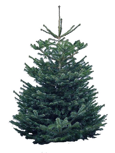hawaii christmas trees 6 7 ft nordmann fir christmas