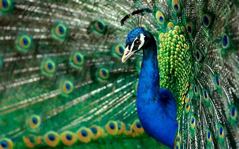 peacock wallpapers most beautiful peacock hd wallpapers hd 1080p hd
