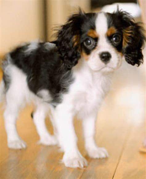 havanese beagle mix beagle poodle mix breeds picture