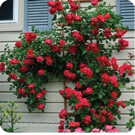 when to plant climbing roses growing blaze climbing