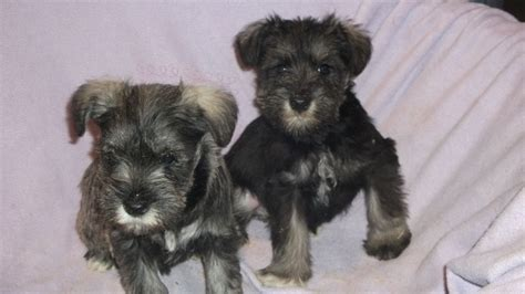 white miniature schnauzer puppies for sale chocolate miniature schnauzer puppies for sale breeds picture