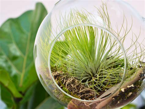 tillandsia andreana air plant air plant greenhouse