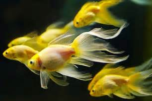 15 Exotic Freshwater Tropical Fish Species Information   Tail and Fur