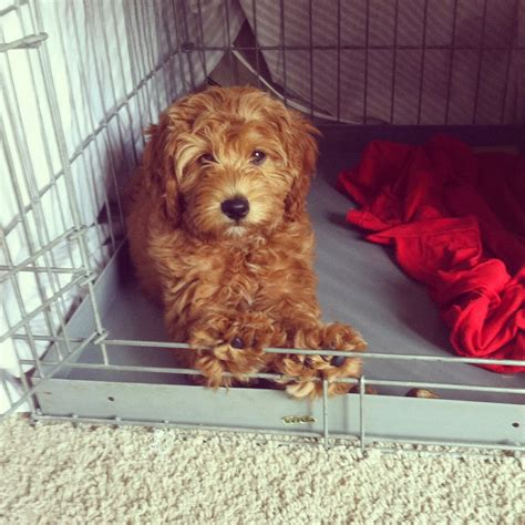 goldendoodle puppy crate goldendoodles by rosie all about indy