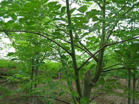 A Tree Miracle Free Moringa California Grenera Nutrients