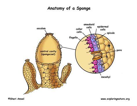 anatomy of a sponge diagram phylum porifera sponges