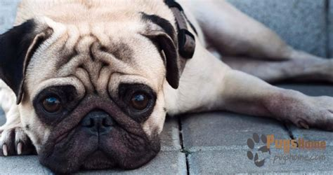 rescue dogs pugs what is so special about pugs adopt a pet for in seattle