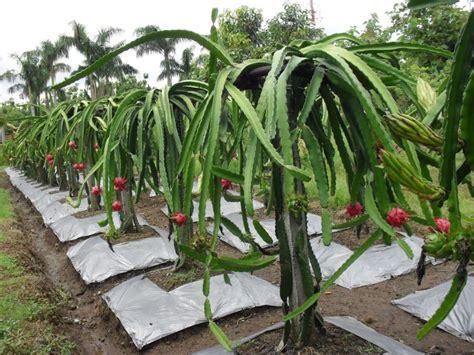 Bibit Pohon Buah Naga cara budidaya tanaman buah naga fikr