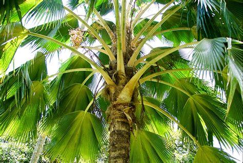 Le Palmier pritchardia vuylskeana le palmier end 233 mique de makatea