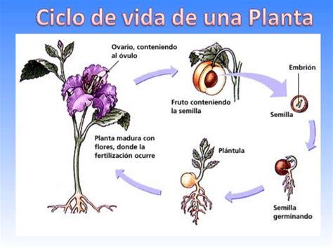 imagenes ciclo de vida de una persona para imprimir ciclo de vida de las plantas