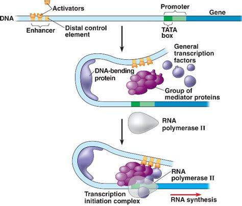 protein activation activator html 18 09activatoraction 3 l jpg