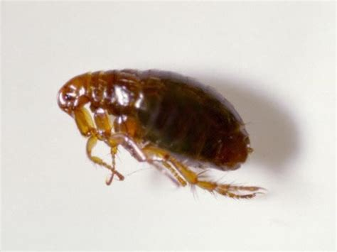 if your dog has fleas does your house fleas professional pest control lincolnshire enviro tec