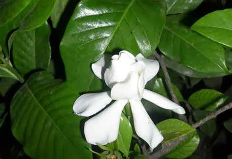 Tanaman Jempiring Gardenia jempiring maskot denpasar yang berkhasiat mengobati
