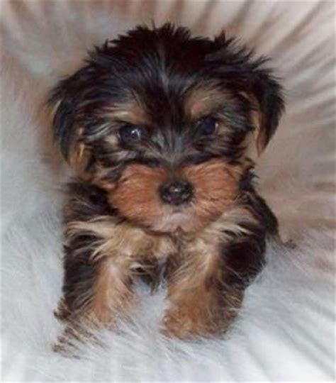 chi yorkies pets goshen in free classified ads