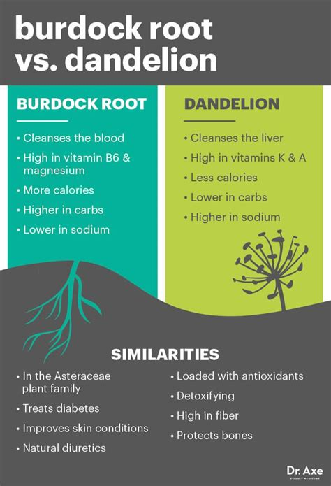 Dandelion Root Detox Benefits by Burdock Root Detoxes Blood Lymph System Skin